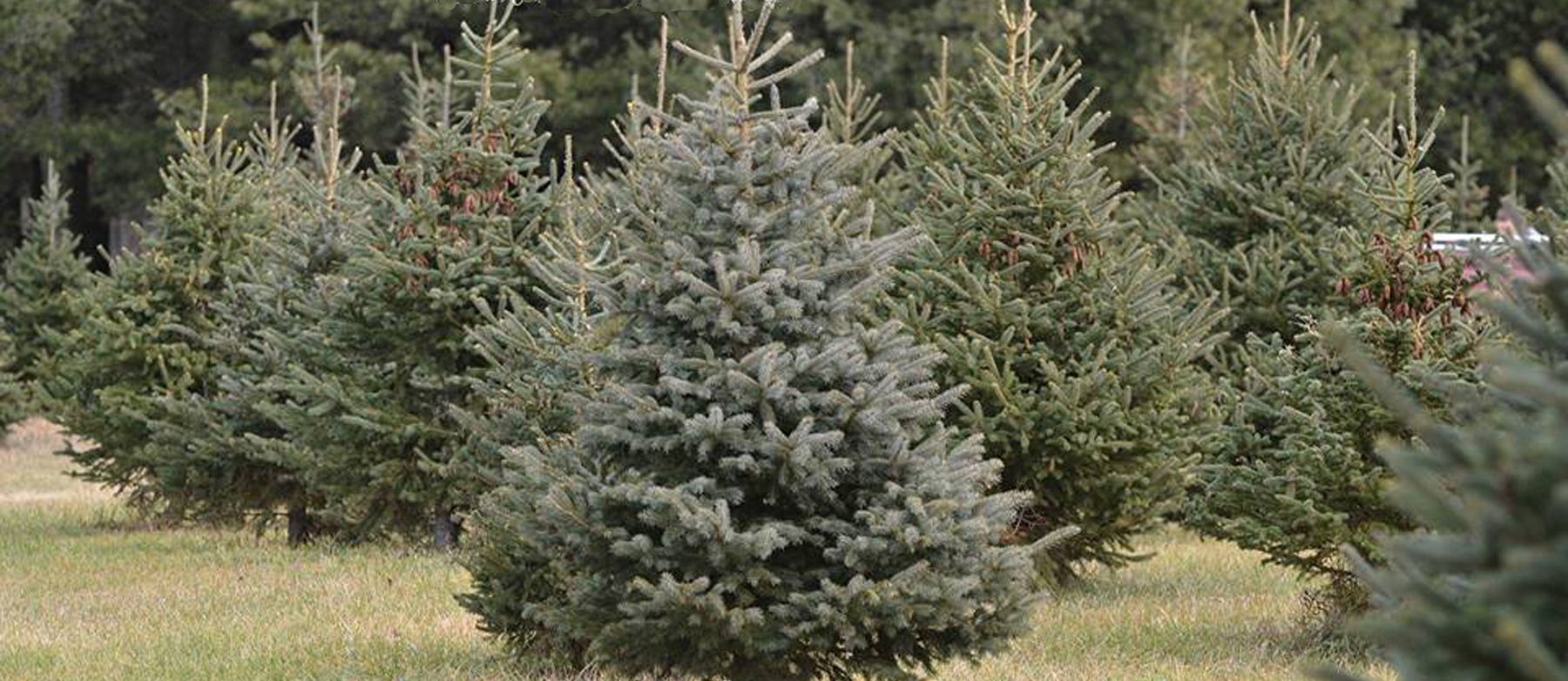 Blackstock Christmas Tree Farm